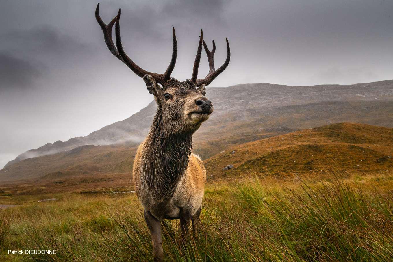 Cerf des highlands Patrick DIEUDONNE FLI Pompey